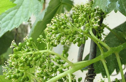 Как ухаживать за виноградом летом. Цветение винограда