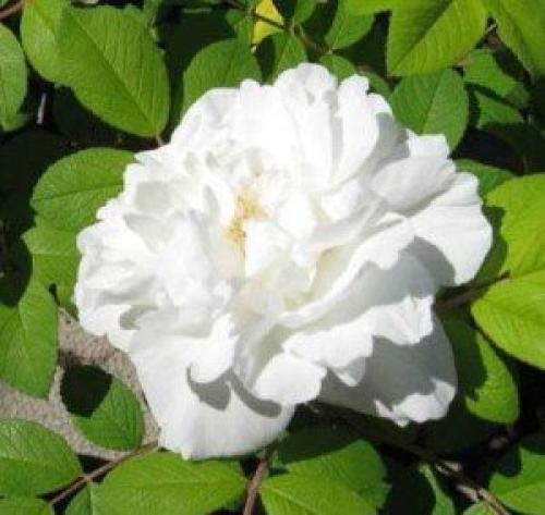 Какие розы цветут до поздней осени. Какие розы цветут все лето: фото, описание