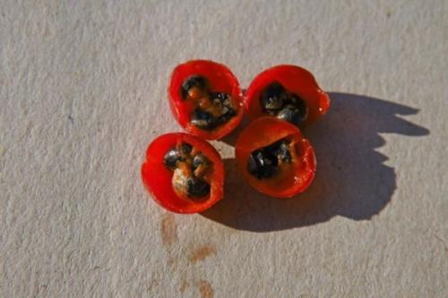 Спаржа, как выращивать. Размножение семенами