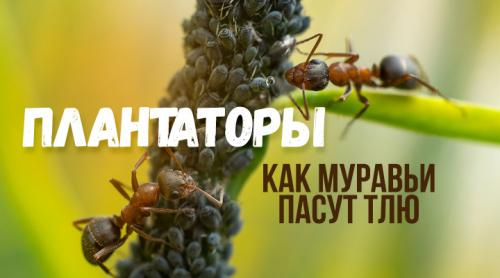 Муравьи и тля тип взаимоотношений. Ковбои с мандибулами — муравьи и тля