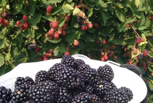 Сладкие сорта ежевики. 5 сортов сочной ежевики, дающих обильный урожай