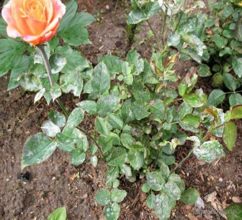 Белая плесень на розах чем лечить. Настоящая мучнистая роса
