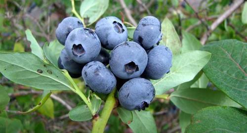 Голубика садовая сорта. Ранние сорта садовой голубики
