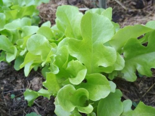 Какие кустарники можно посадить в августе. Дачные хлопоты: что посадить на огороде в августе