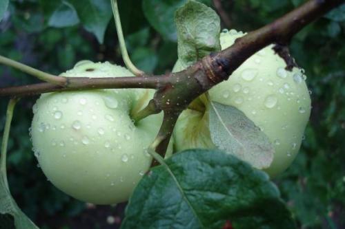 Летний сорт яблок сладкие. Летние сорта