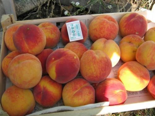 Ранние сорта персика. Созревают рано: Киевский Ранний, Белый Лебедь, Грисборо и Редхайвен, Мореттини