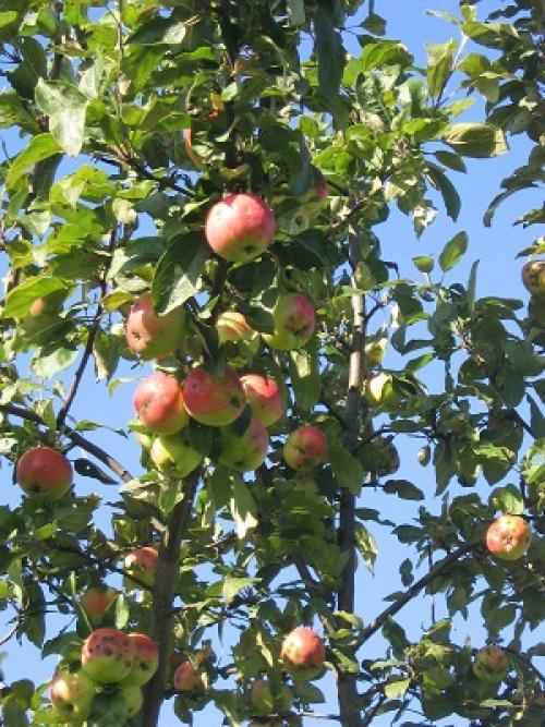 Яблоки созревающие в июле. Общая характеристика