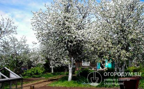 Яблони зимние сорта для средней полосы. Особенности региона