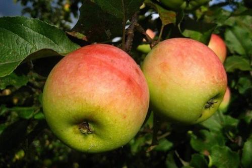 Осенние яблоки сорта. Осенние сорта яблонь