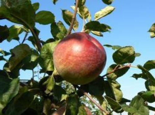 Лучшие сорта зимних яблок для Беларуси. Зимние сорта яблок для Беларуси