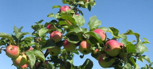 Совместимость плодово ягодных культур при посадке таблица. Какие плодовые деревья можно сажать рядом