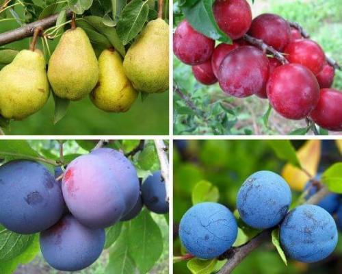 На что можно привить абрикос. Когда и как правильно прививать абрикос весной, летом и осенью
