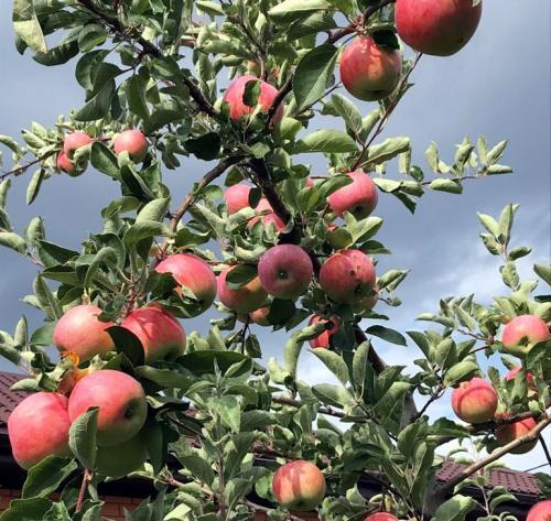 Летний сорт яблони Мельба. Сорт яблони Мельба – описание, посадка и уход, фото, отзывы садоводов