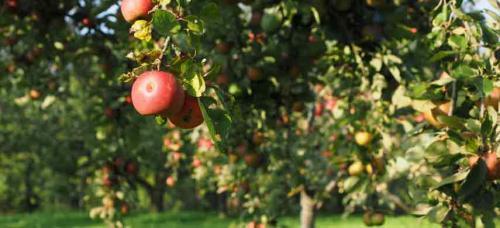 Совместимость красной смородины с другими растениями. Совместимость садовых деревьев друг с другом и другими культурами