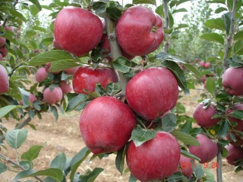 Спуровые сорта яблонь их названия