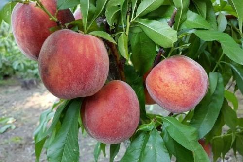 Персик мелитопольский описание сорта. Самые лучшие сорта персиков с фото и описанием