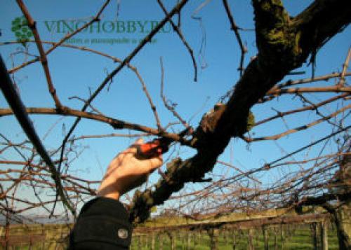 Формирование винограда схема самая простая по годам. Когда проводить формировку лозы