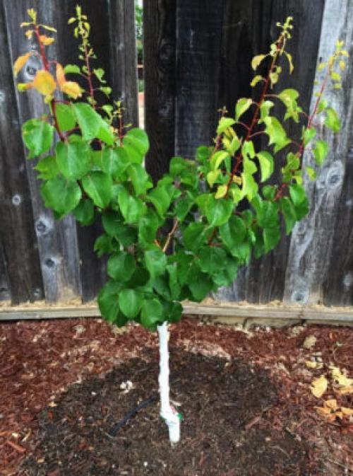 Совместимость абрикоса с другими плодовыми деревьями. Совместимость с деревьями и кустарниками